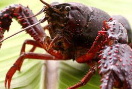 龙虾养殖创业利好:一亩地能有多少利润?